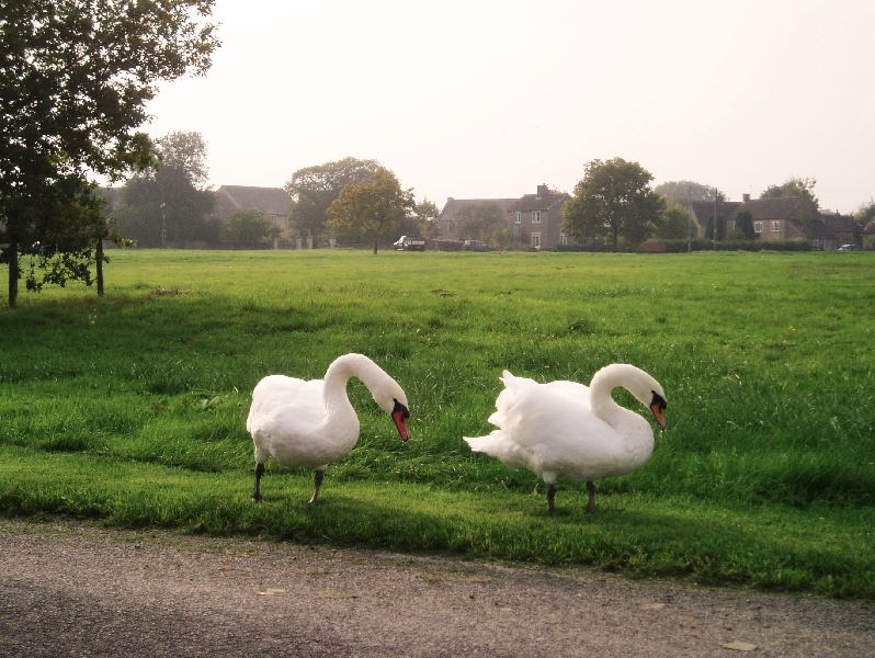 Swans on the common in Broughton Gifford